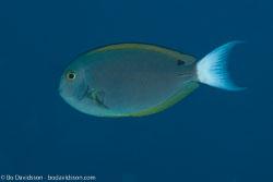 BD-130713-Maldives-0375-Acanthurus-thompsoni-(Fowler.-1923)-[Thompson´s-surgeonfish].jpg